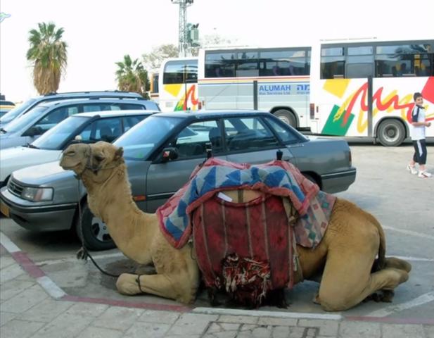 גמלים חונים ליד רכבים בדובאי