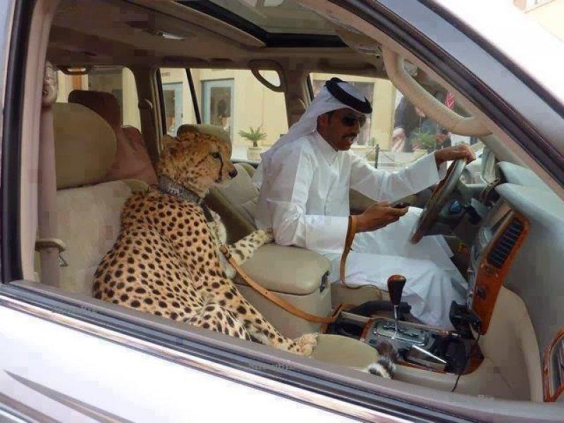 טיגריס ברכב בדובאי